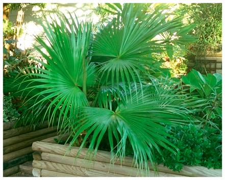Dwarf Palmetto Palm