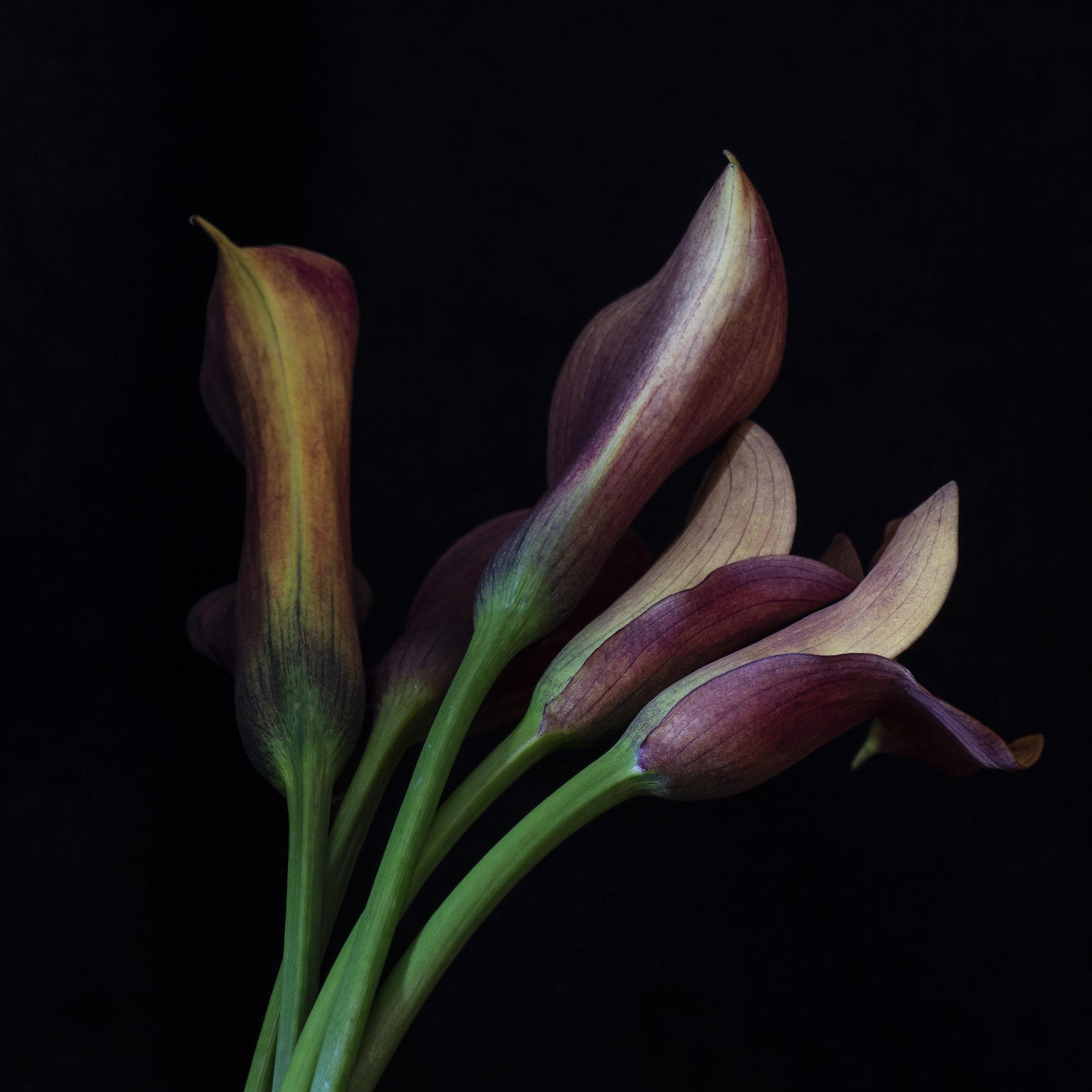 Durham_801_CallaLilly_Bunch1_Flower_7232018.jpg