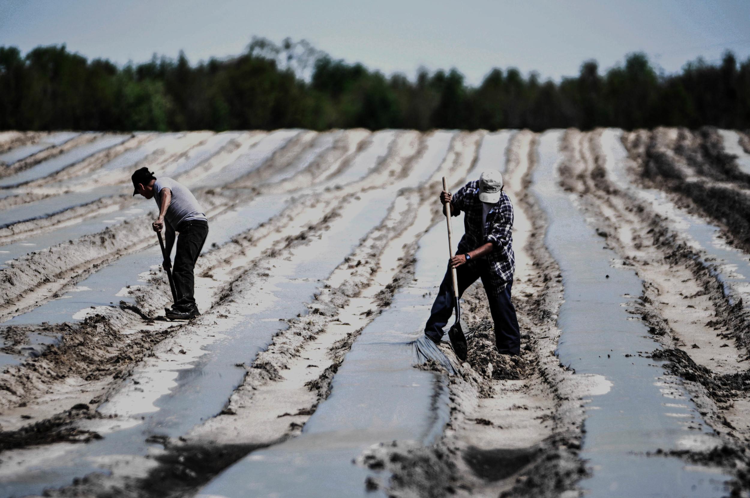 Dino toils in the fields alongside a fellow worker.
