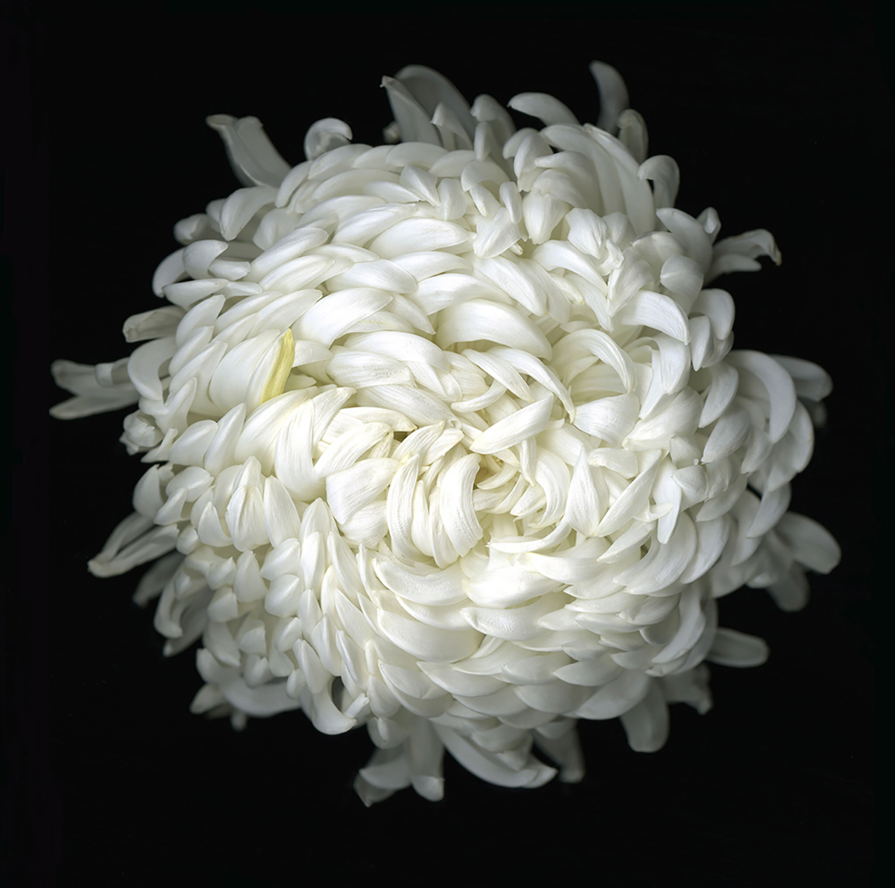 chrysanthemum2009.jpg