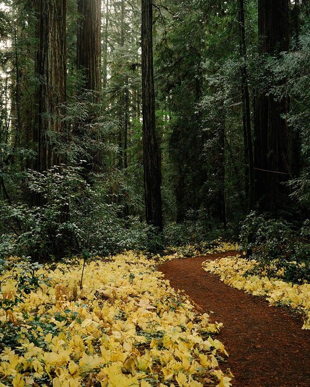This foggy weather in SF reminds me of walking through the woods. And these redwoods are quite beautiful.