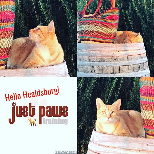 Infamous kitty AP🐱 💛 coy n' curious of whass in da basket?#ilikebaskets #iamacutekitty #watchinghumans #mousekitty