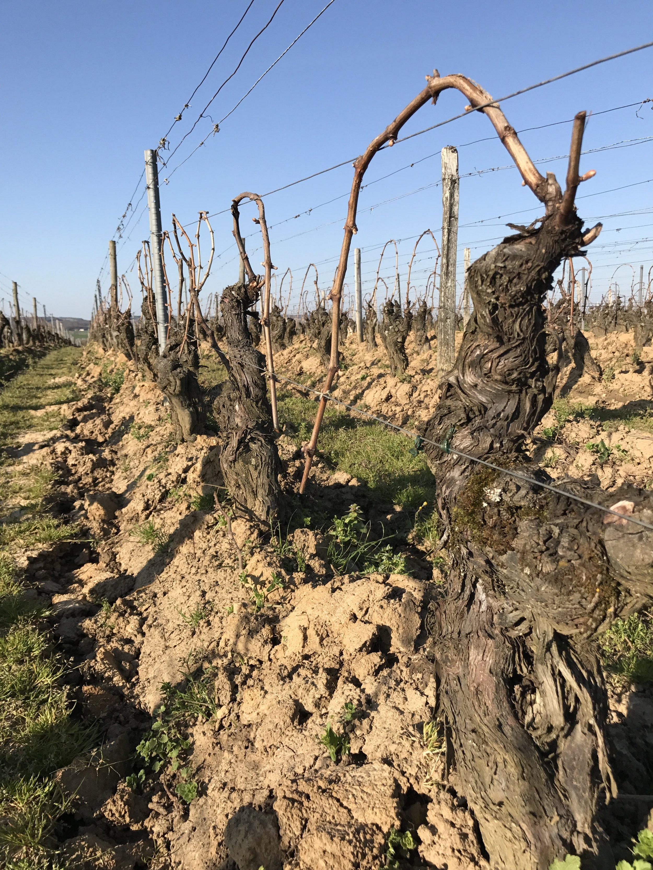 Incredible Chardonnay vines at Le Chai Duchet, Fuisse.