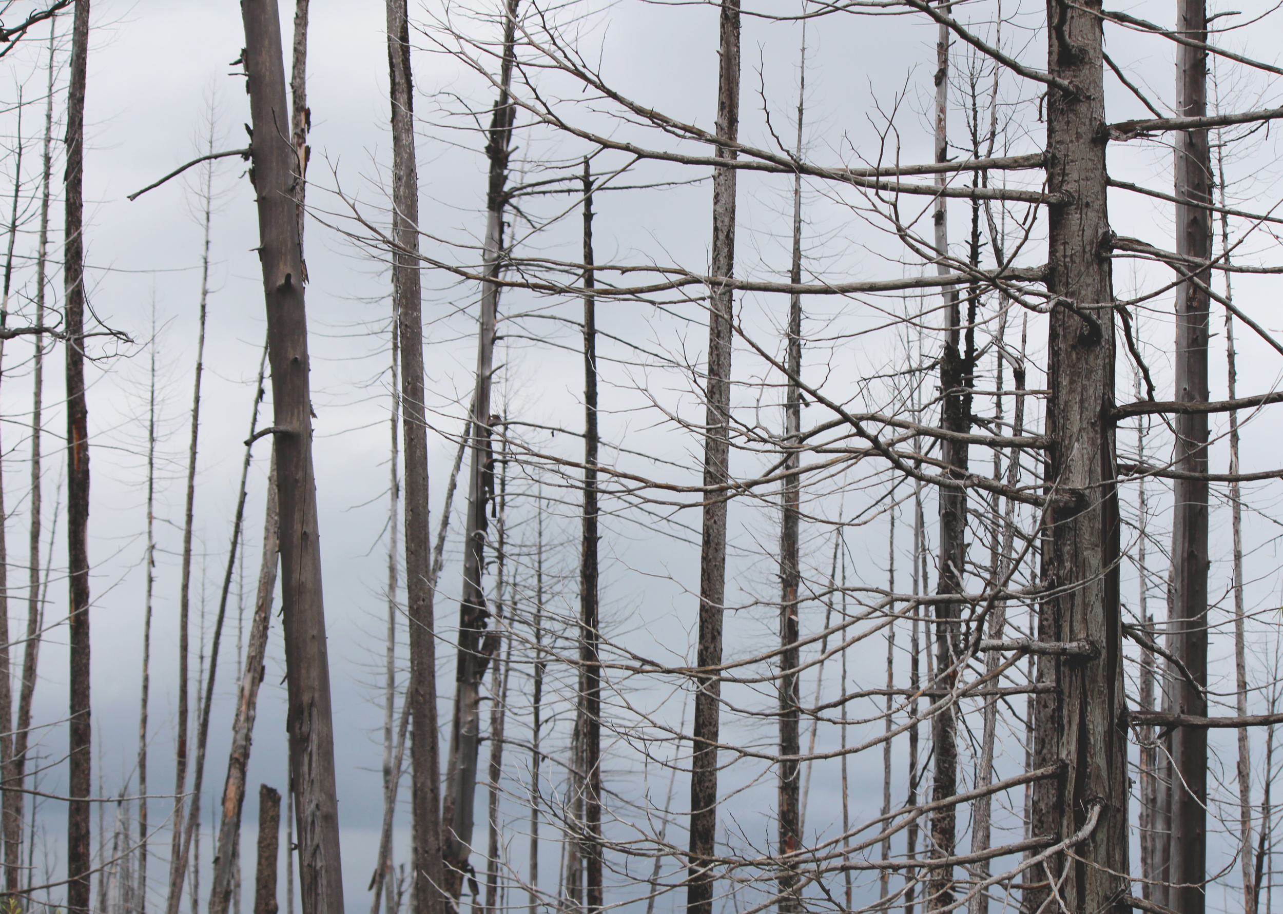 Trees after 2003 Fire - Glacier National Park, Montana