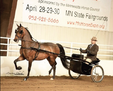 HyLee's Spotlight, NCMA Futurity Two Year Old Gelding and Pleasure Driving Champion