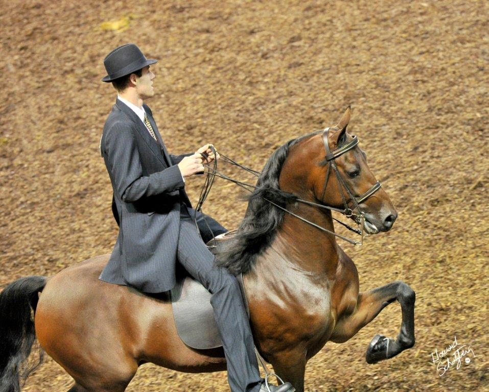 Cedarcrest Valentino under saddle