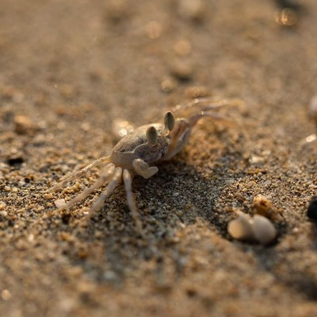 🦀 These crabs were so quick. Their camouflage is on point too. They are surprisingly hard to see. Another shot from Wandoor Beach. Honestly guys, this beach is so freaking beautiful. Definitely worth a wee visit especially if you love a good sunset photograph.⁣ ⁣ -⁣ ⁣ #WandoorBeach #Andaman #AndamanandNicobarIslands #India #IncredibleIndia  #wildlifephotography #nature #travel #naturephotography #wanderlust #naturelovers #travelgram #instatravel #animalsofinstagram #crabsofinstagram #crab