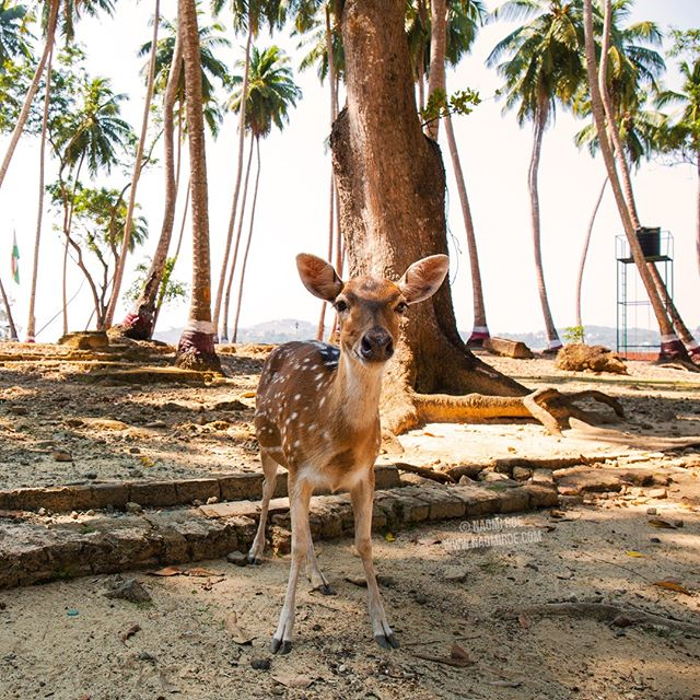 🦌 Found this wee spotted deer (Axis axis) on Ross Island (officially known as Netaji Subhas Chandra Bose Island).⁣ ⁣ -⁣ ⁣ Spotted deer are known by a few names: Chital/Cheetal or Axis Deer. They were introduced to the islands by the britishers in the 1930s as a game animal.⁣ ⁣ -⁣ ⁣ ⁣  #wildlife #outdoors #nature #ecotourism #india #wildlifephotography #chital #forest #incredibleindia #RossIsland #NetajiSubhasChandraBoseIsland #AndamanandNicobarIslands #AndamanIslands  #wanderlust #travelgram #instatravel #traveltheworld #beautifuldestinations #passionpassport #mytravelgram #traveladdict