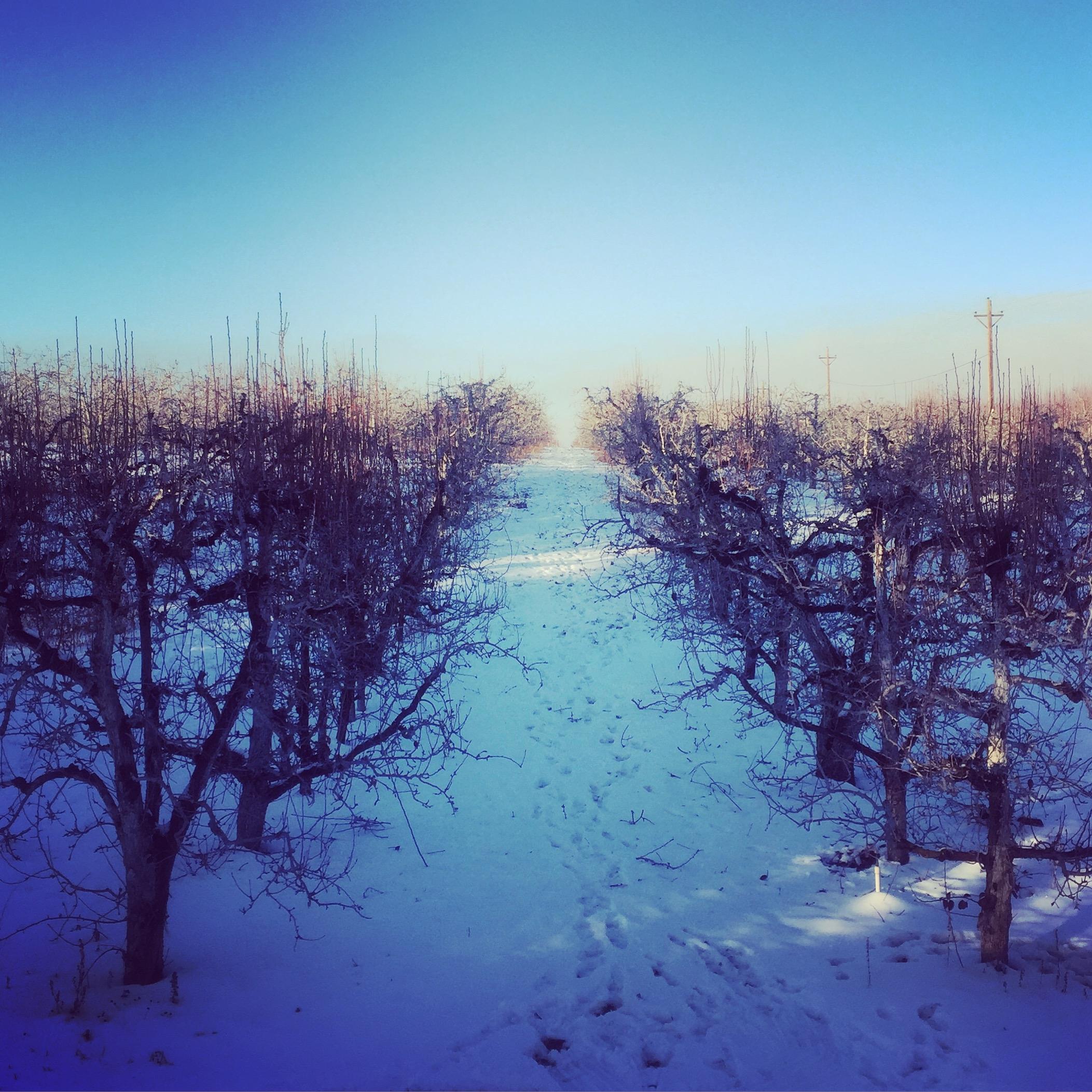 Sleeping pear orchard