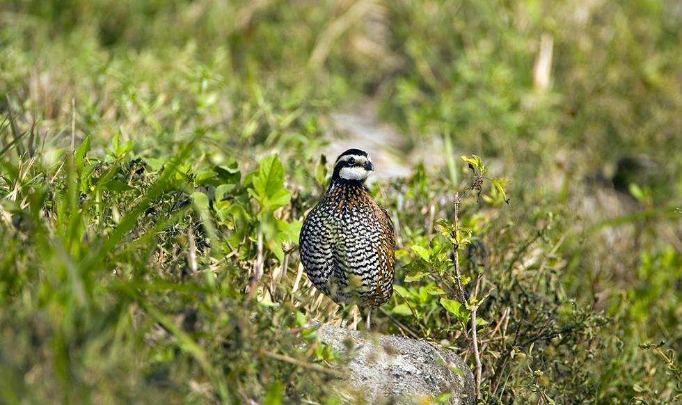 oklahoma_quail.png