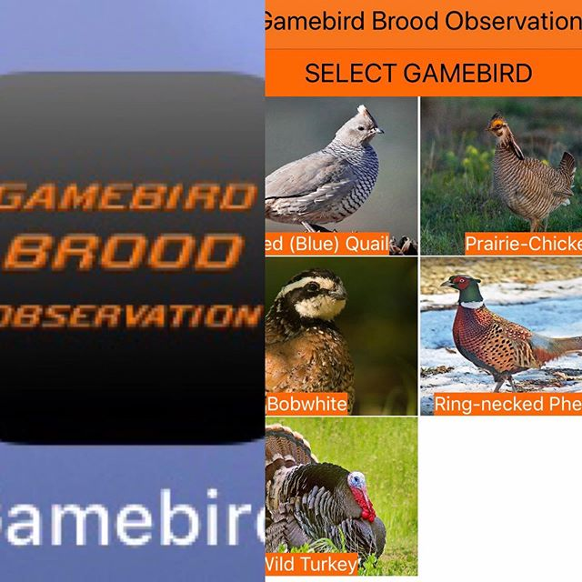 Alert!! What broods are you seeing across Oklahoma?! Please download the reporting App called Gamebird Brood Observations so that OSU & ODWC researchers can start gathering data! We are hearing that landowners have seen broods, but no reports submitted. Please help us get the word out - tag and share this post! 🙏