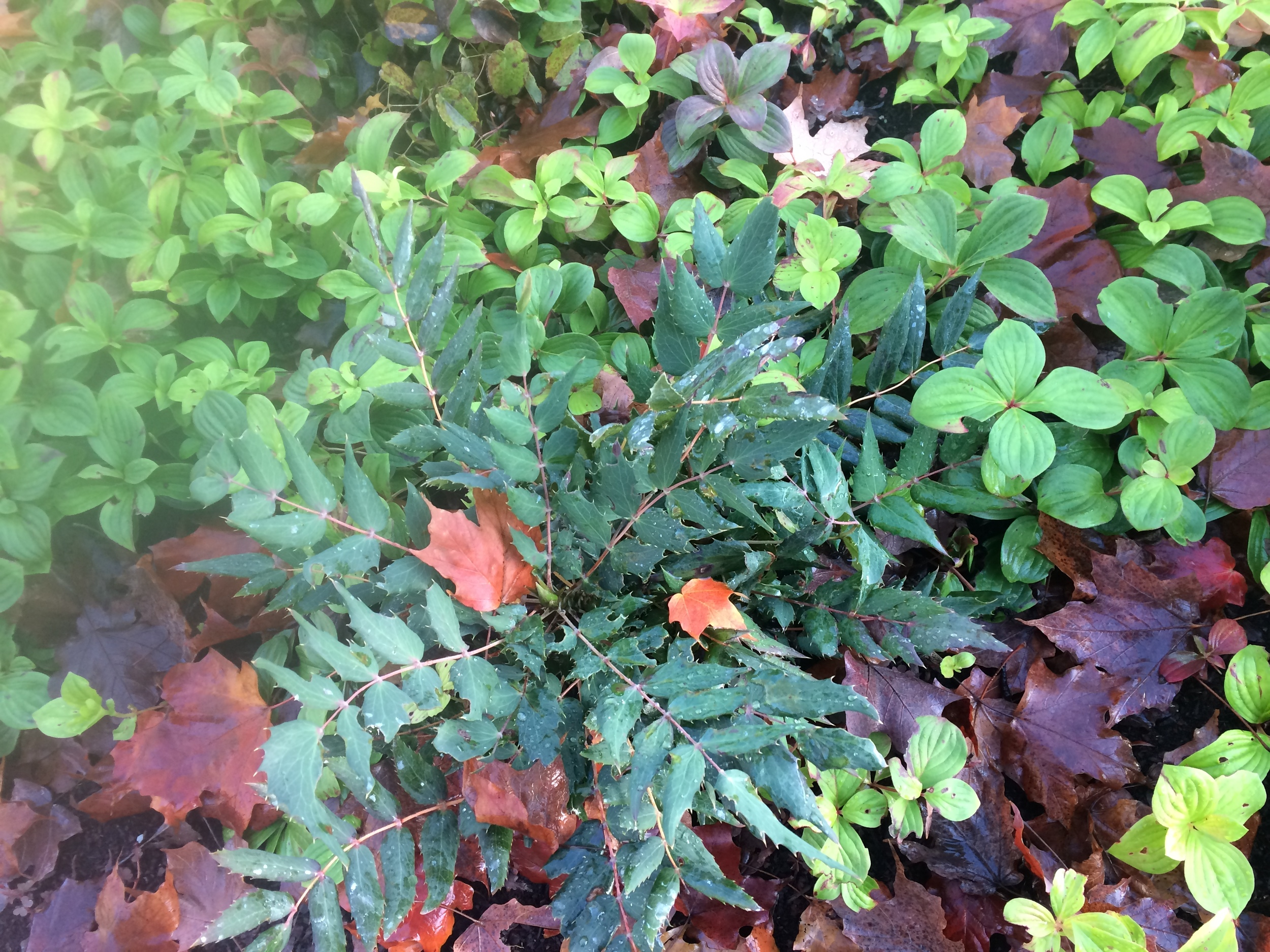 Oregon Grape and bunchberry.JPG