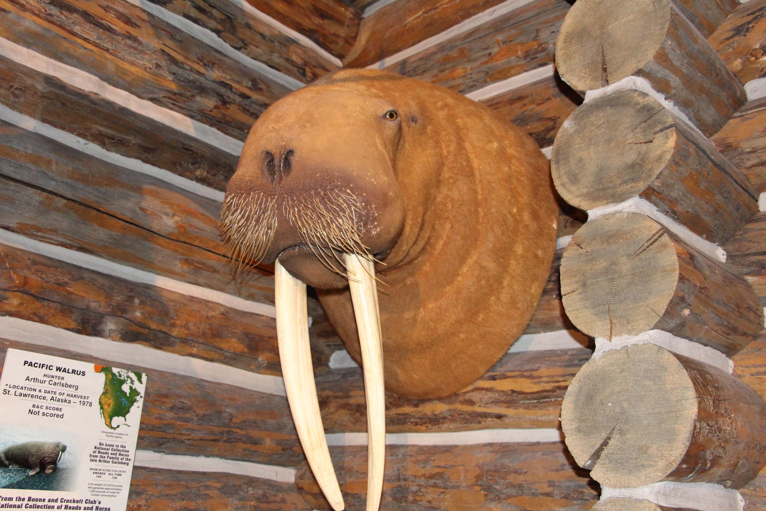Who shoots a Walrus? Buffalo Bill museum. Cody, WY.