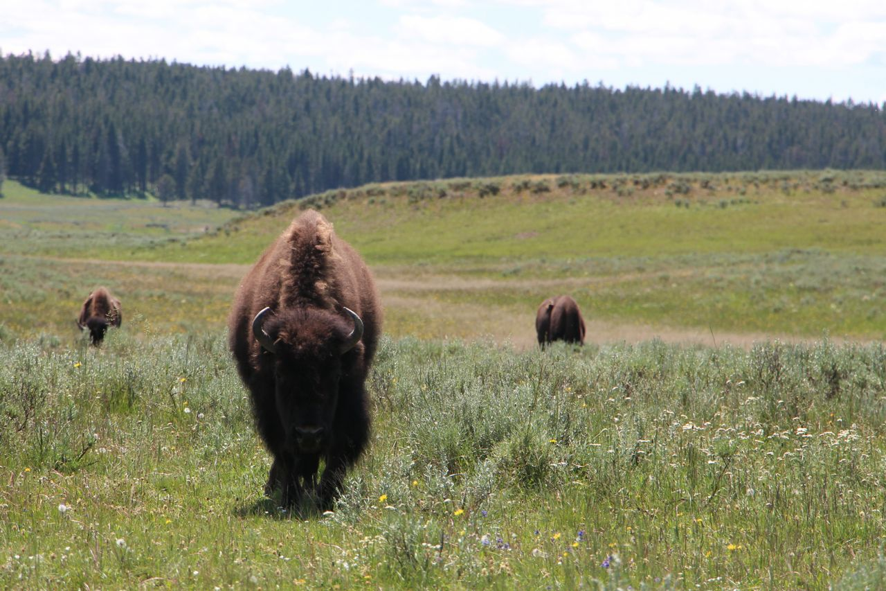 Up close and personal with Bison at Yellowstone National Park