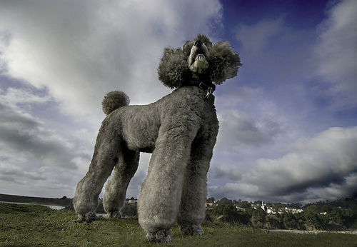 with apologies to the noble Poodle breed...