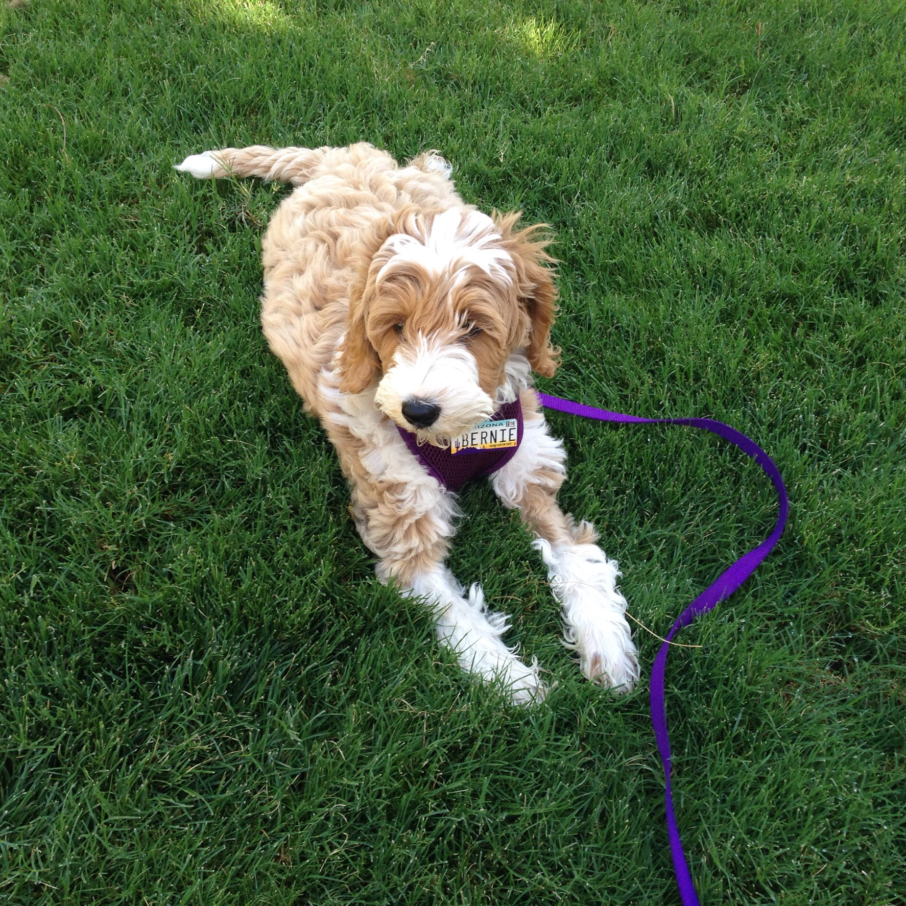 "Bernie, our Labradoodle love bug! He says, ""Thanks for visiting my mommy's blog!"