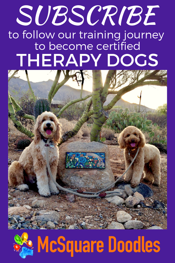 Woof! We're Labradoodles Bernie and Lizzie McSquare! Subscribe at McSquare Doodles to receive our monthly newsletter to follow our training journey to become certified therapy dogs. #McSquareDoodles #therapydogs #therapydog training #dogtraining #labradoodles