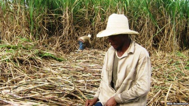 Machetero en campo de caña. Santiago de Cuba