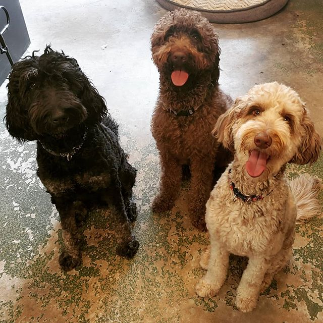 "Doodle Sisters, Cassi (phantom) & Stella (merle), & ""Aunt"" Mabel (brown) had a blast playing together!!! This is a before groom pic lol.  #doodle #doodlesofinstagram #labradoodle #labradoodles #labradoodlesofinstagram #groomer #doggroomer #groomersofinstagram"