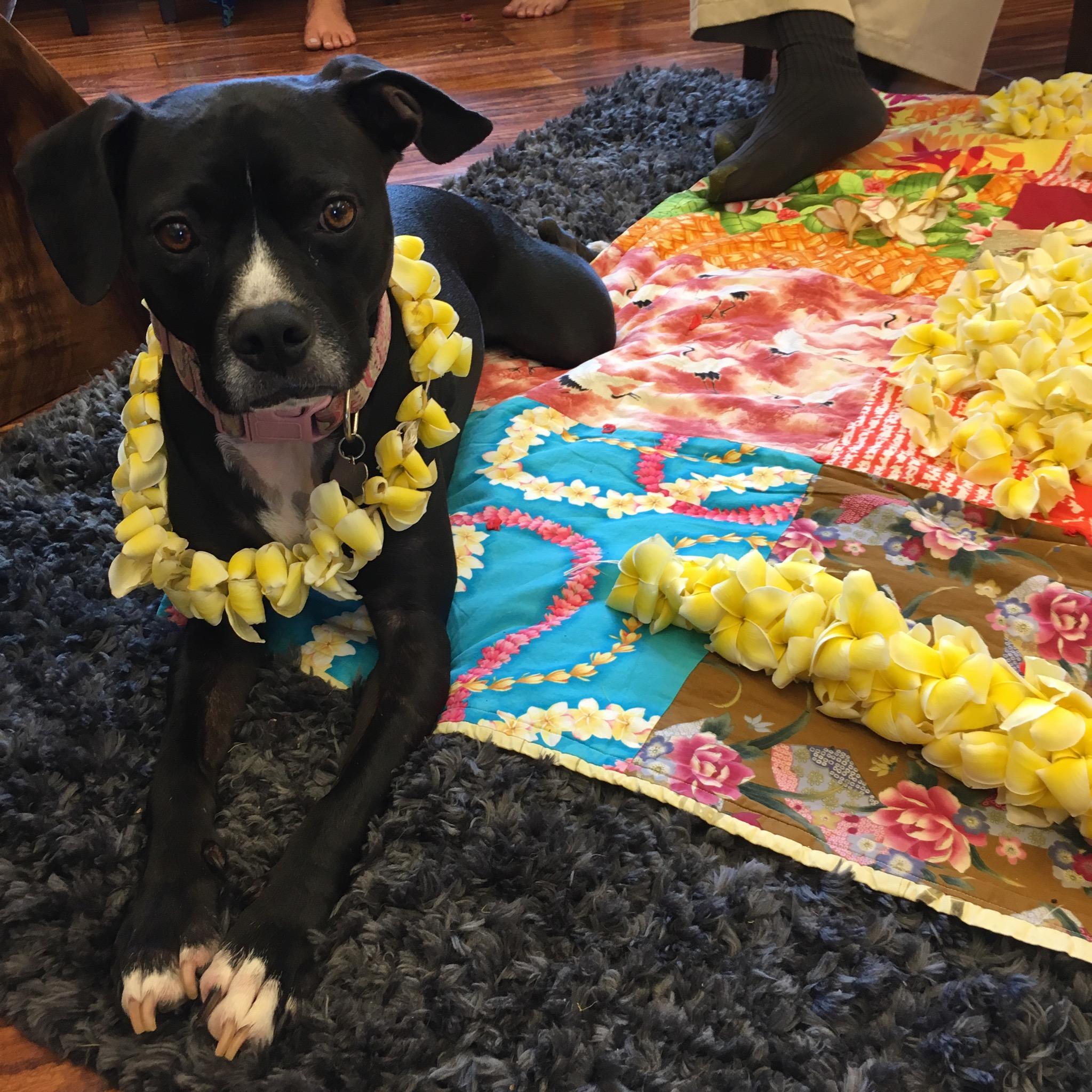 "John's dog ""Hanai"" celebrating May Day this year, at our Kamuela office."