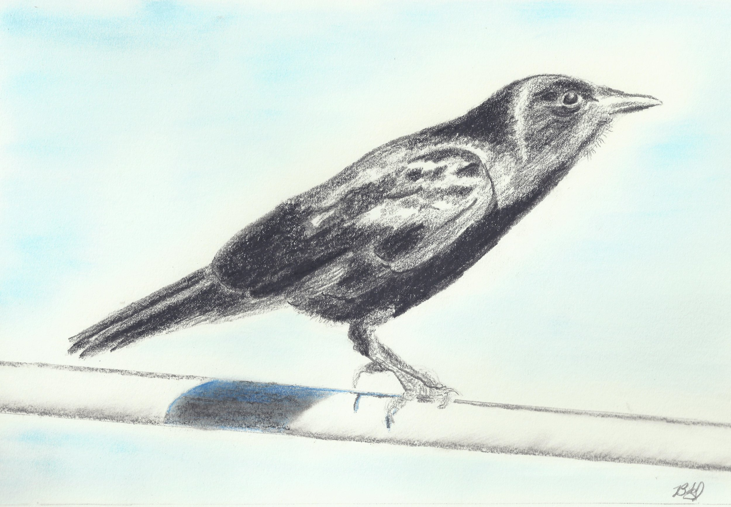 Note: In the drawing of the all-black Fish Crow, I tried to show how the sunlight causes a sheen on the feathers.  Besides the call, the shorter legs and smaller bill help distinguish it from the larger American Crow.