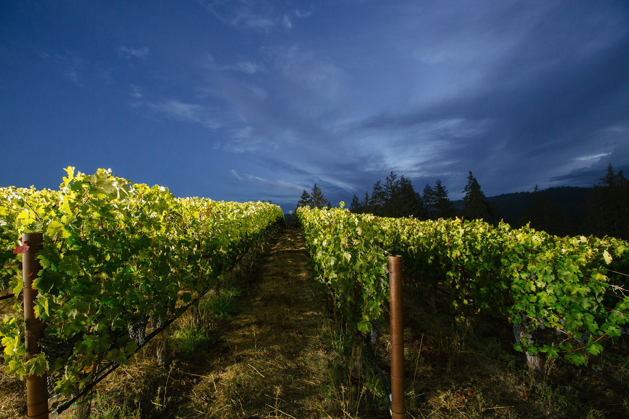 Night-harvest-ProfileEstateVineyard.jpg