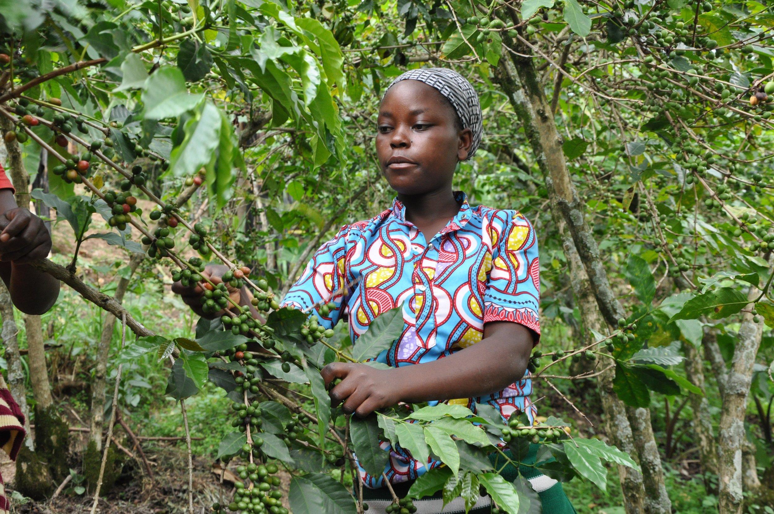 MEMENTO_RWANDA RENAISSANCE_Eric Turpin_7_Coffee plantation cuilleuse.jpg