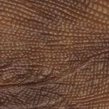 Iguana camello