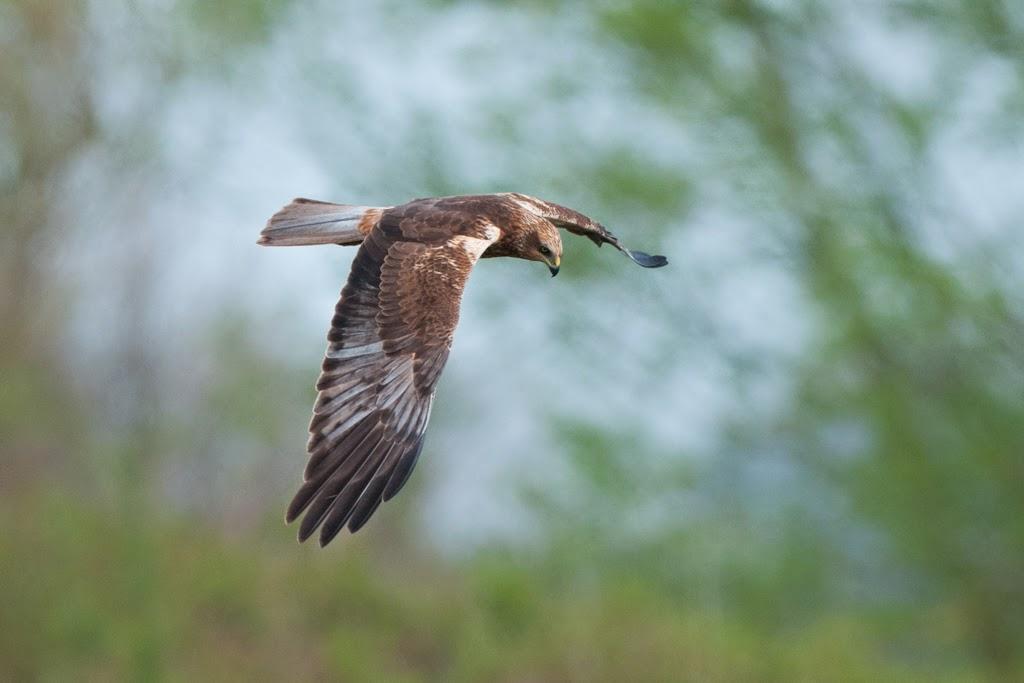 Marsh+Harrier+(1+of+21).jpg
