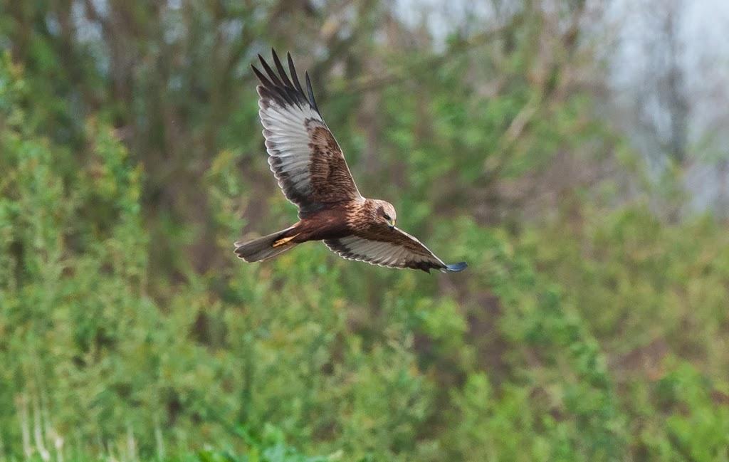 Marsh+Harrier+(18+of+21).jpg