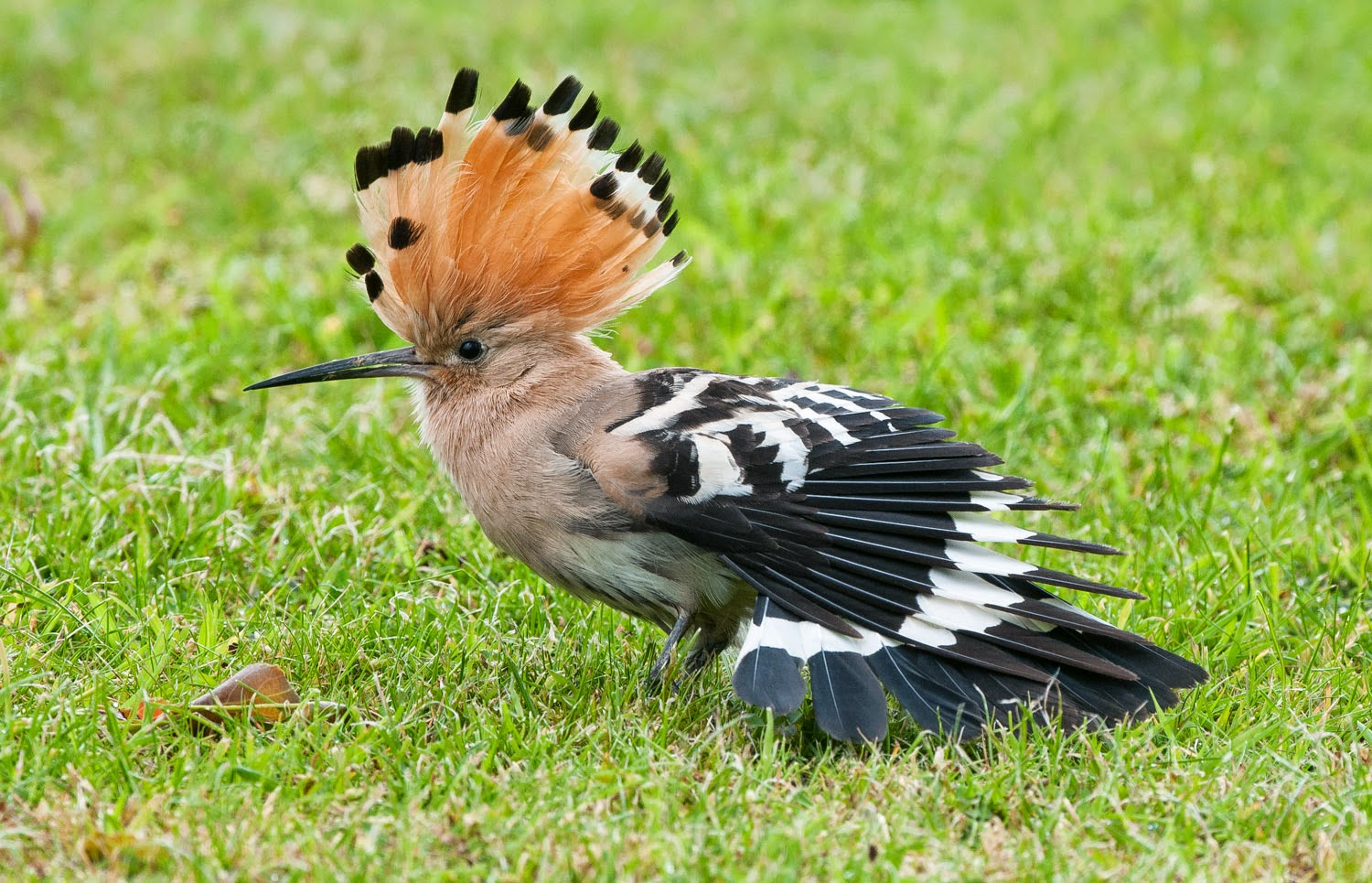 Hoopoe+Saturday+(3+of+11).jpg