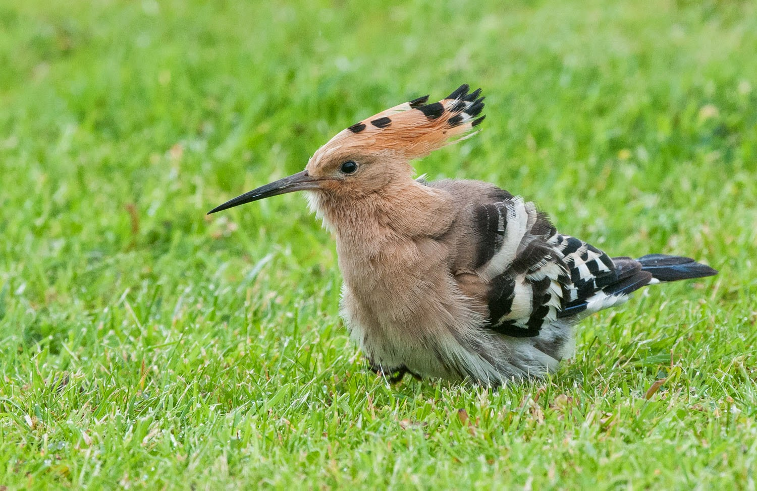 Hoopoe+Saturday+(6+of+11).jpg