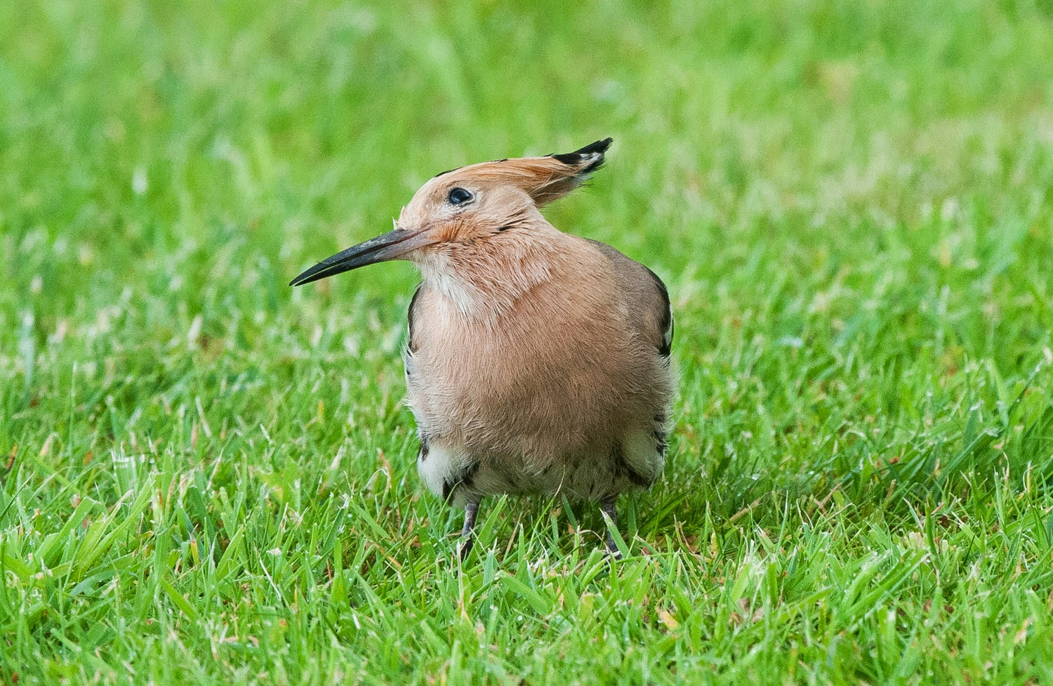 Hoopoe+Saturday+(5+of+11).jpg