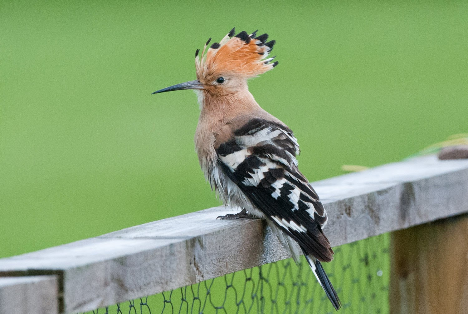 Hoopoe+Saturday+(4+of+11).jpg