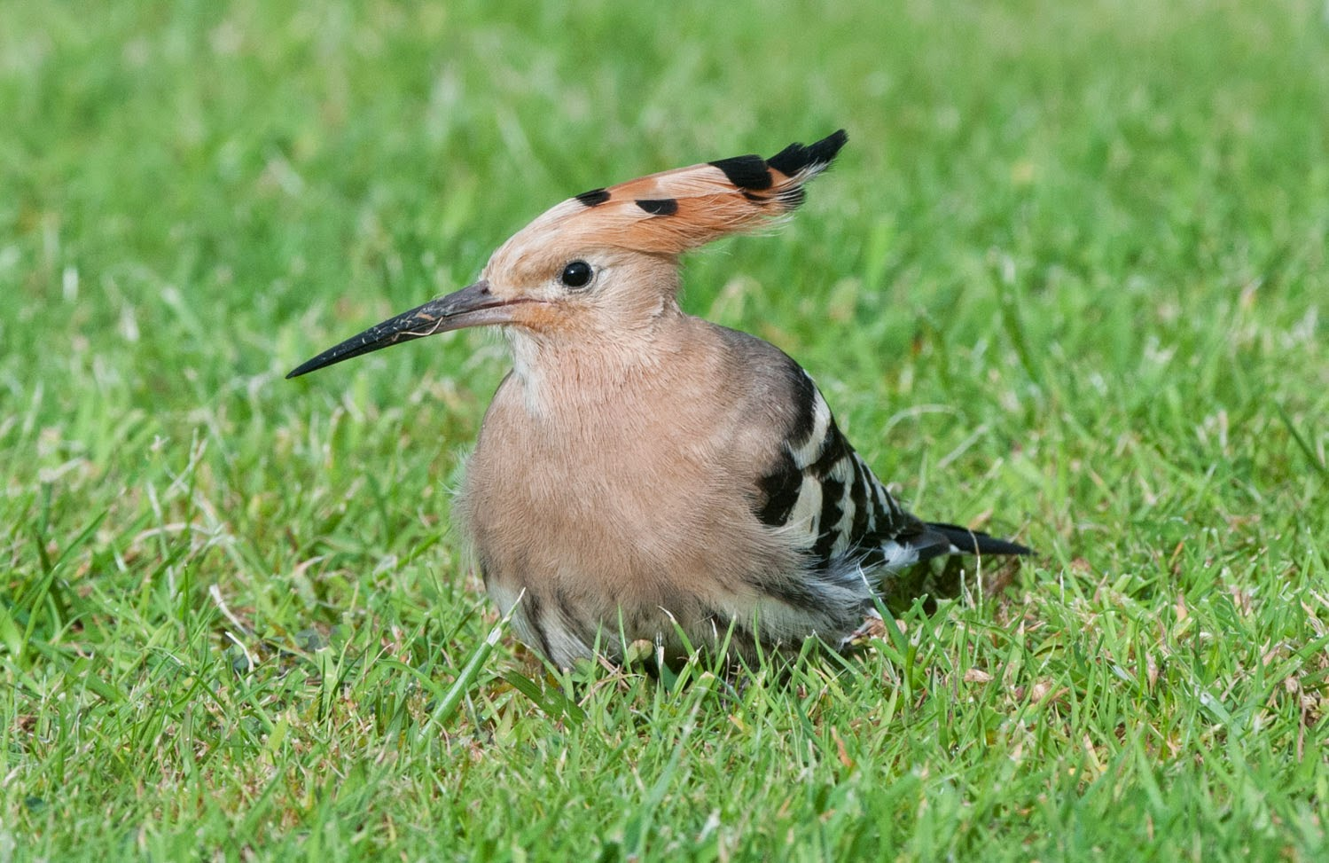 Hoopoe+Saturday+(8+of+11).jpg