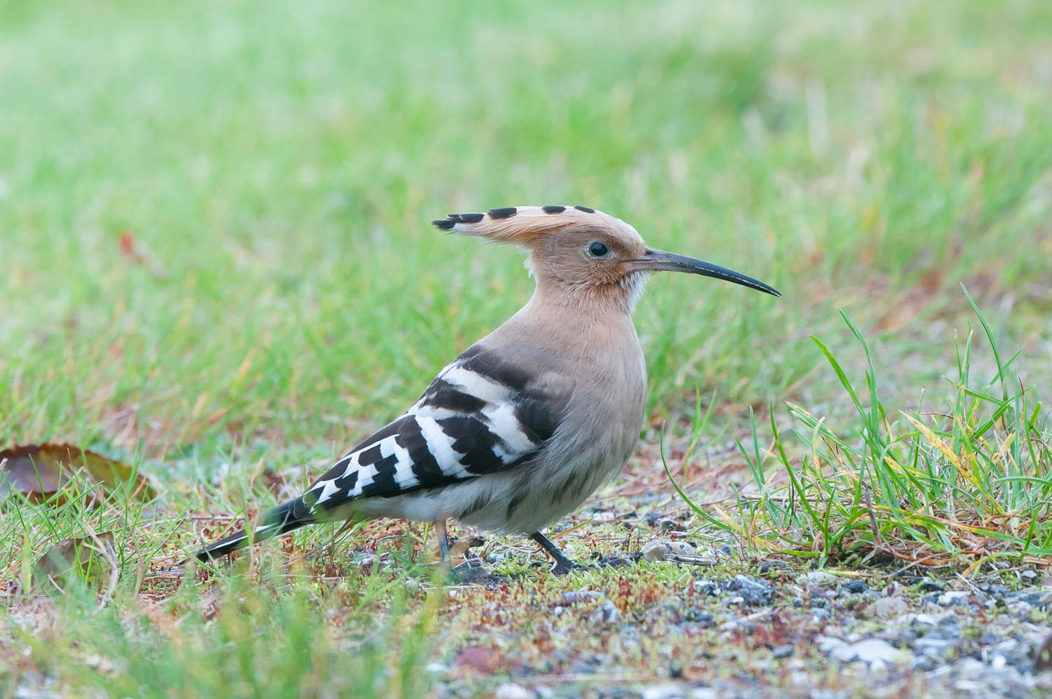 Hoopoe (1 of 3).jpg