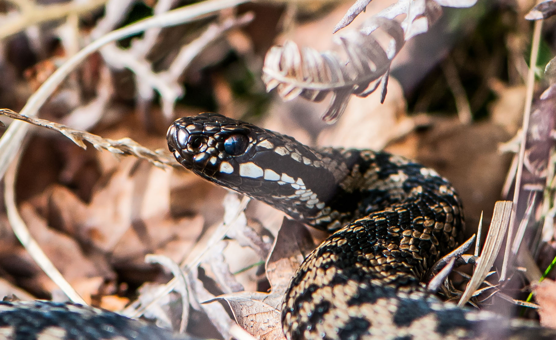 """I've always fancied having a go for the adders at Allerthorpe Woods and after a couple of false starts I had an hour with this fellow in March. Not perfect by any stretch but after a 2 hour search it was nice to get up close to this rare beast albeit rather daunting at only 9"""" away!"""
