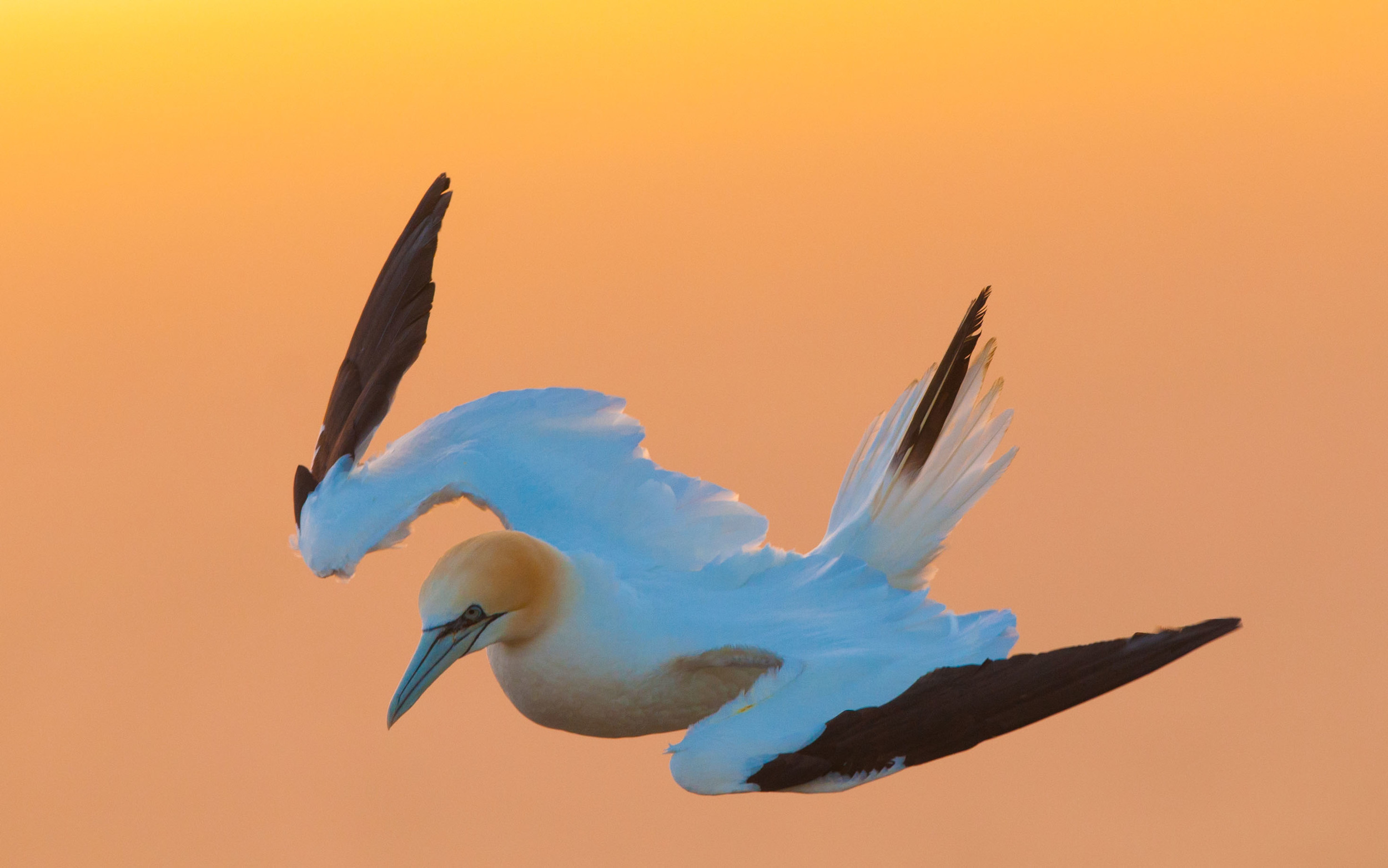 I was particularly please with this shot of a Gannet taken on the morning of Good Friday at Bempton. The warm tones of the sunrise hide the fact that it was a gale force northerly wind with snow showers and temperatures only just above freezing!