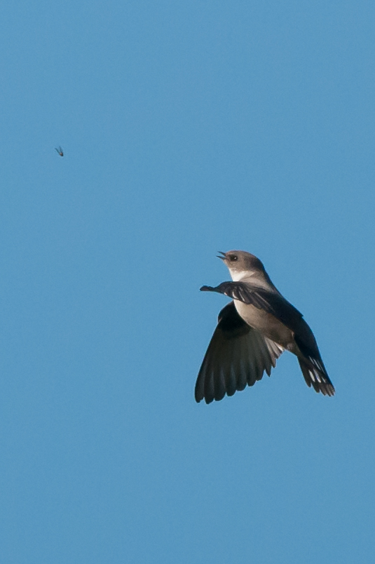 At last a change in the weathering April brought my first real rarity of the year. This crag martin was first found on the Friday and re-appeared Saturday afternoon at Flamborough drawing crowds of twitchers before an all to brief re-appearance on the Sunday before vanishing.