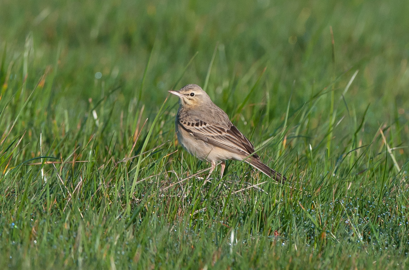 Part of the 'supporting cast' for the crag martin at Flamborough. This tawny pipit showed very well on the Sunday the crag martin disappeared.