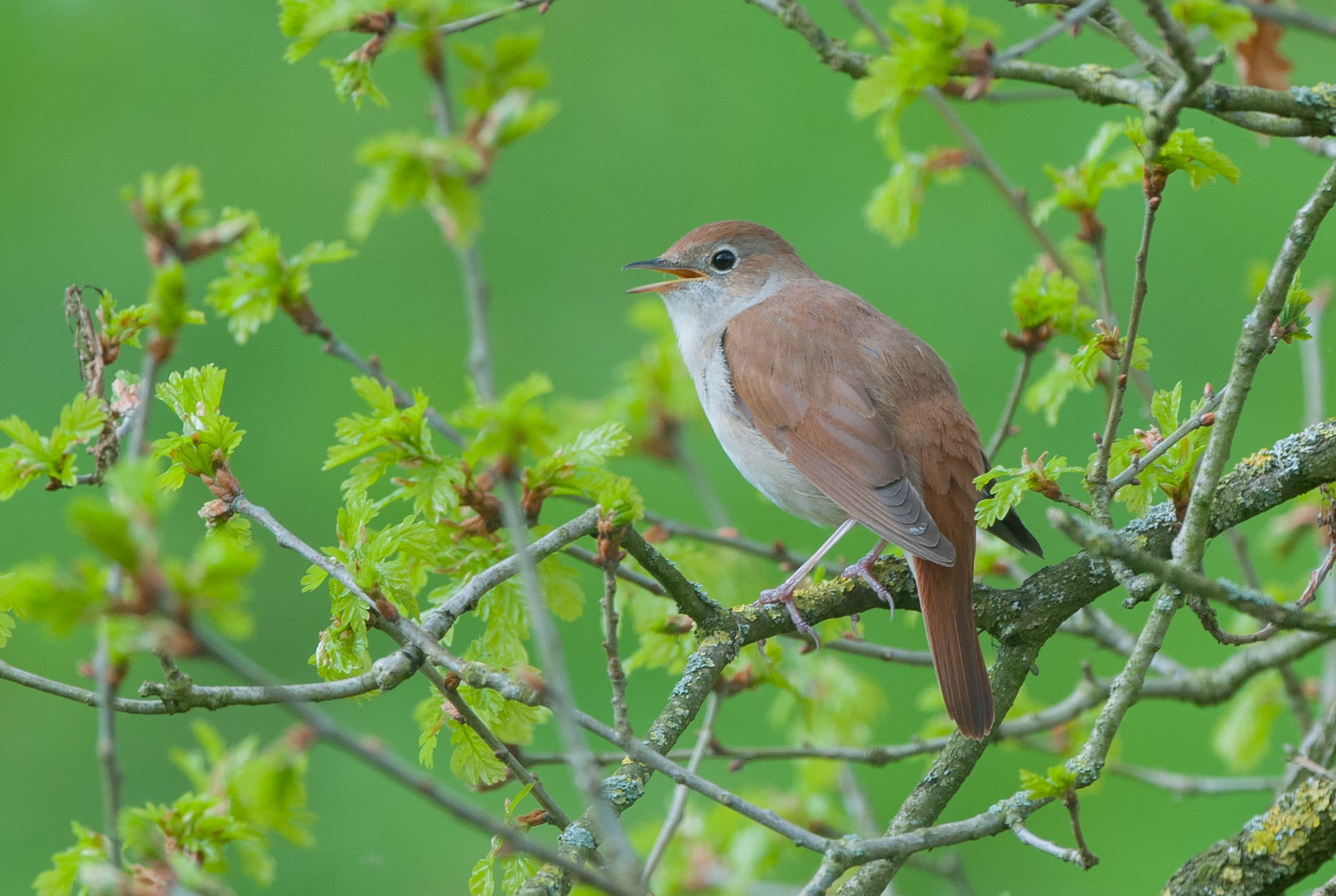 I had a couple of trips out to Lincolnshire for the nightingales and they didn't disappoint. The dawn chorus led by the nightingales was magical as was watching a female nest building within feet of the footpath!