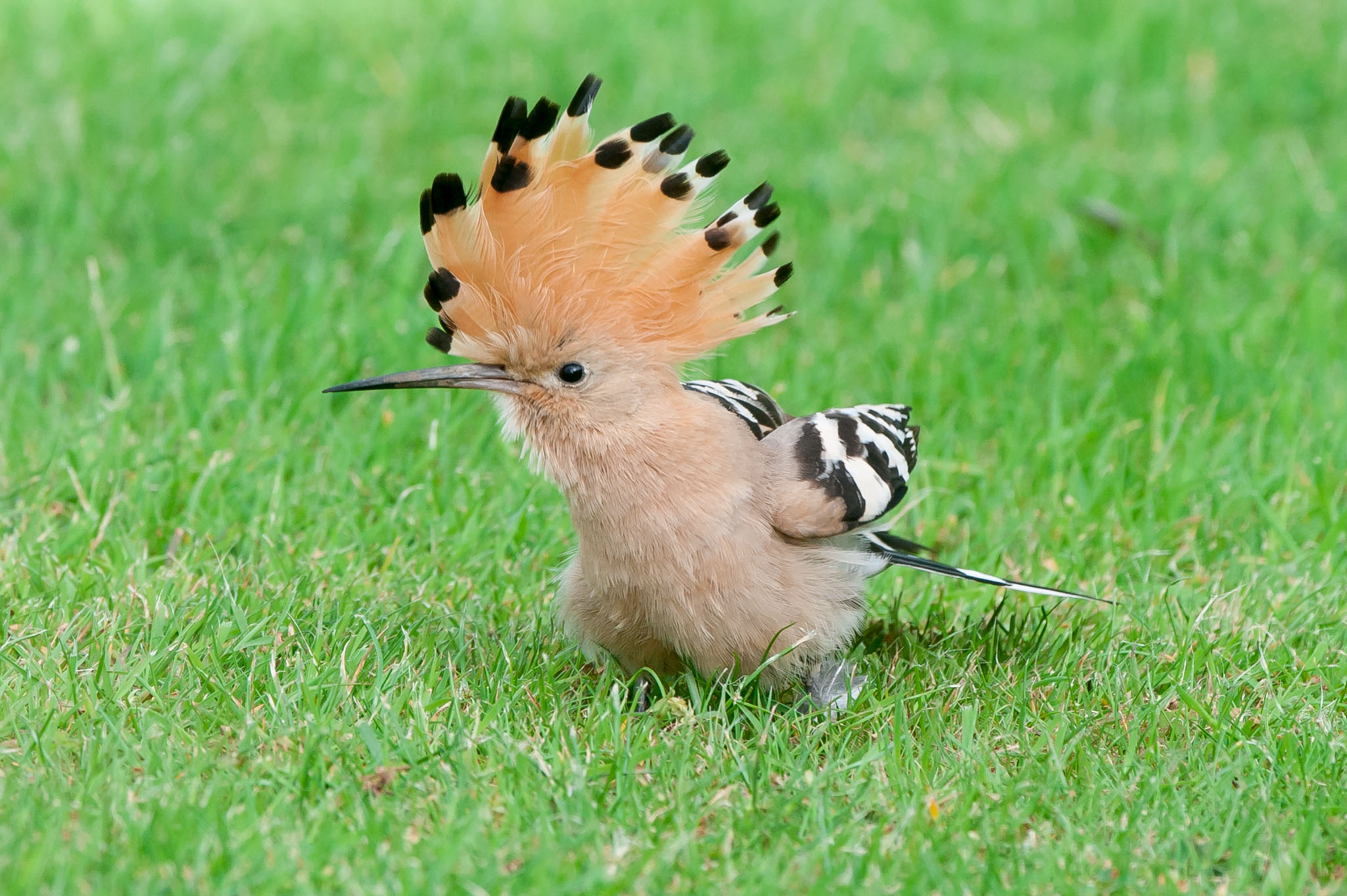 This hoopoe showed very well over a weekend in May near Beverley at a private garden.It was very tame and came within 15 feet of the crowd. I went to see it on the Friday it was found and the next day-one of the highlights of the year.