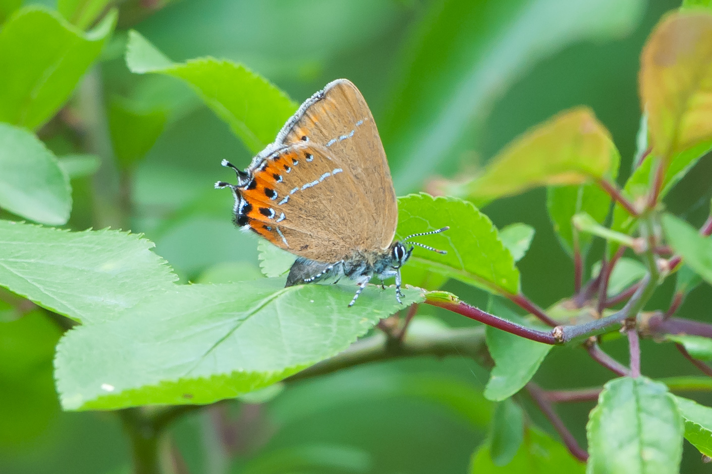 I had quite a bit of luck in obtaining my first views and photographs of black hairstreak. Two trips to Lincolnshire over one weekend in June amounting to 16 hours in total resulted in a very brief and close encounter with this beautiful butterfly.