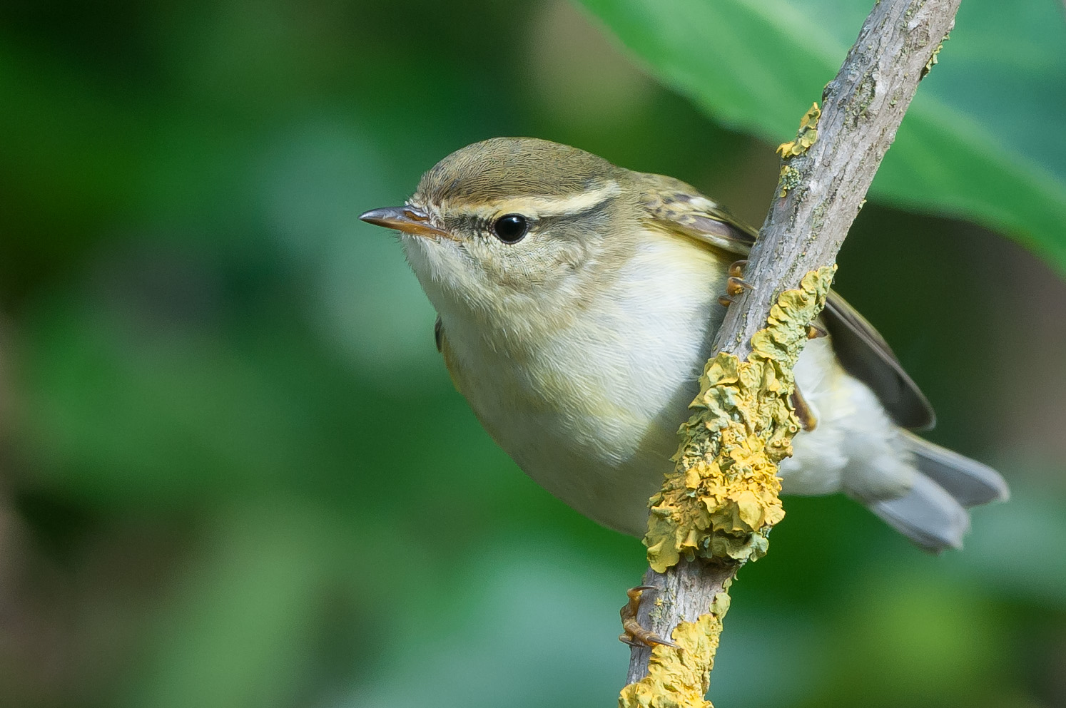 This yellow browed warbler posed nicely during its stay in October at the Crown and Anchor car park in Kilnsea.