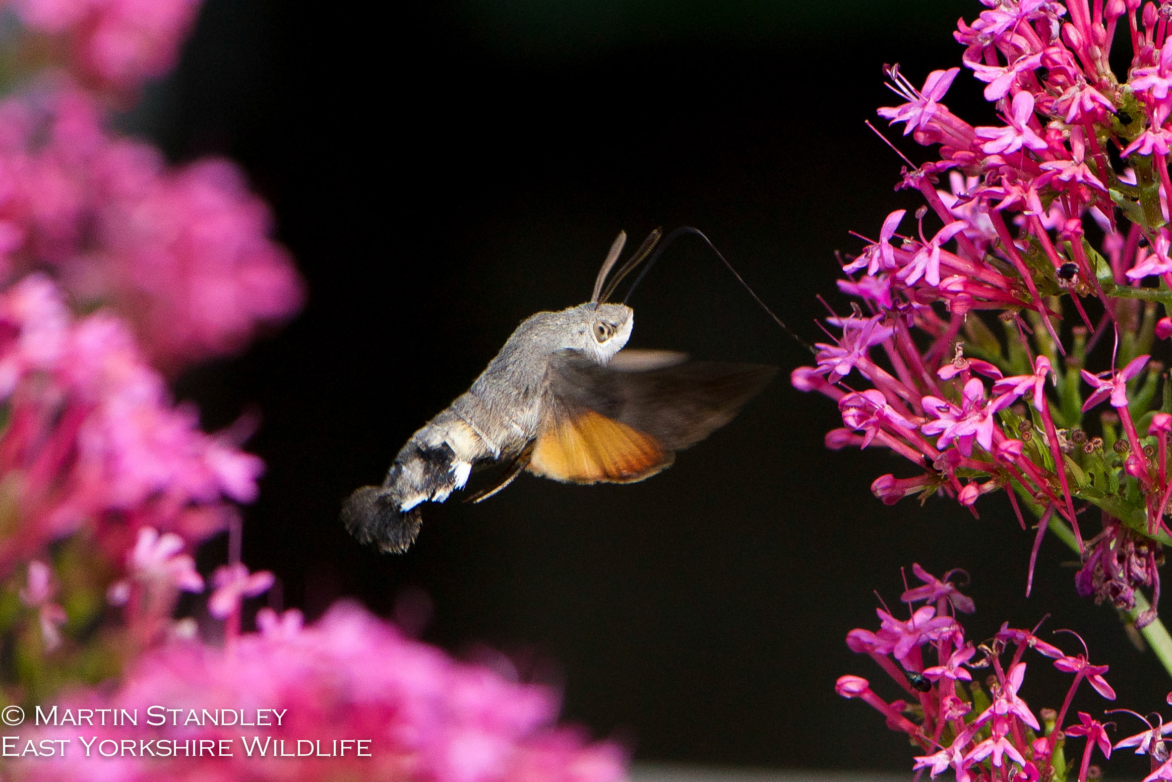Hummingbird Hawk Moth