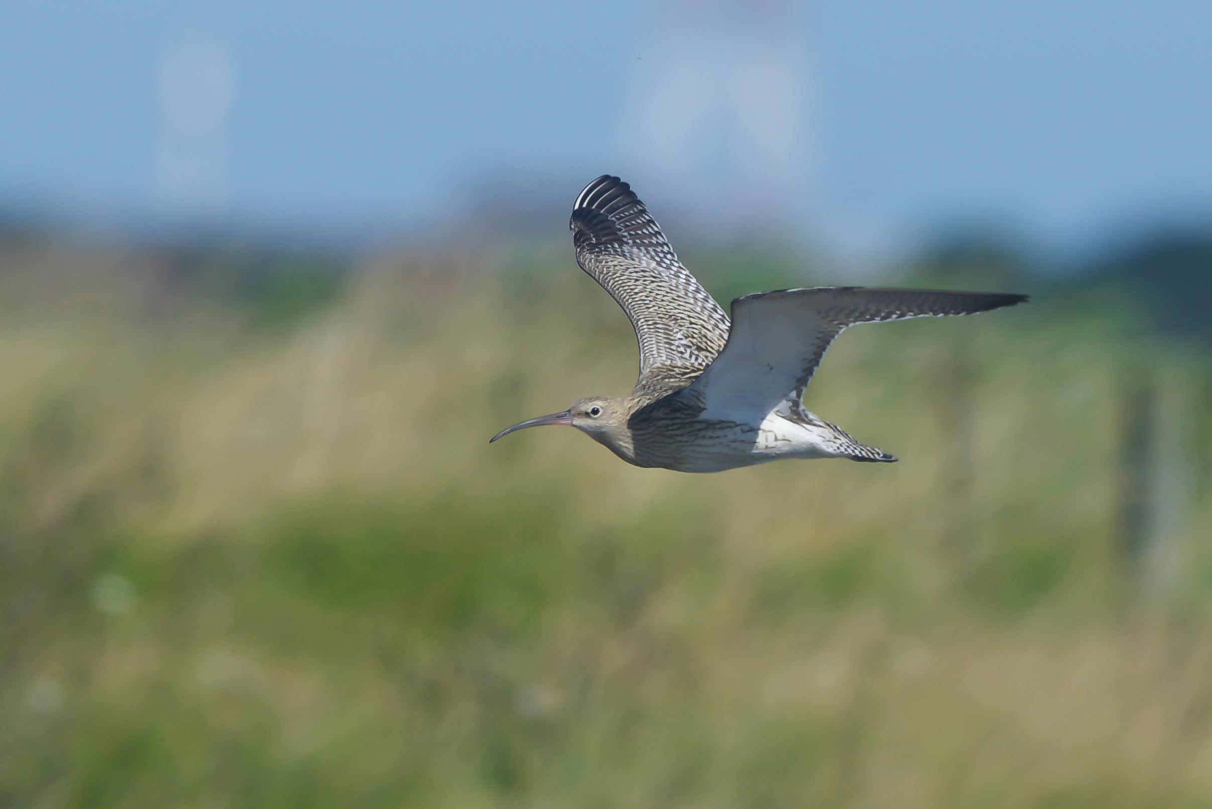 Whimbrel at Spurn