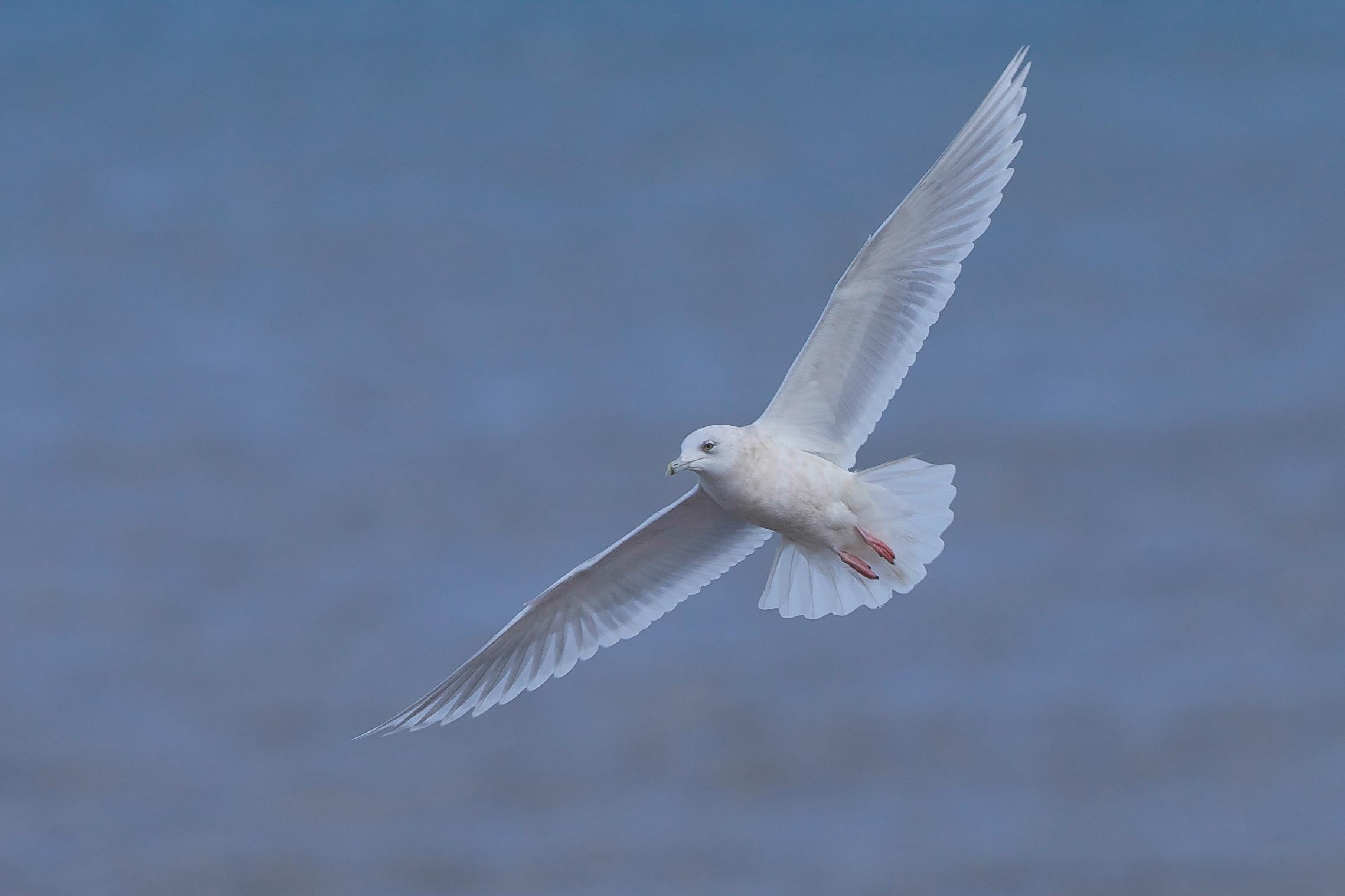 Kumliens Gull-Barmston January