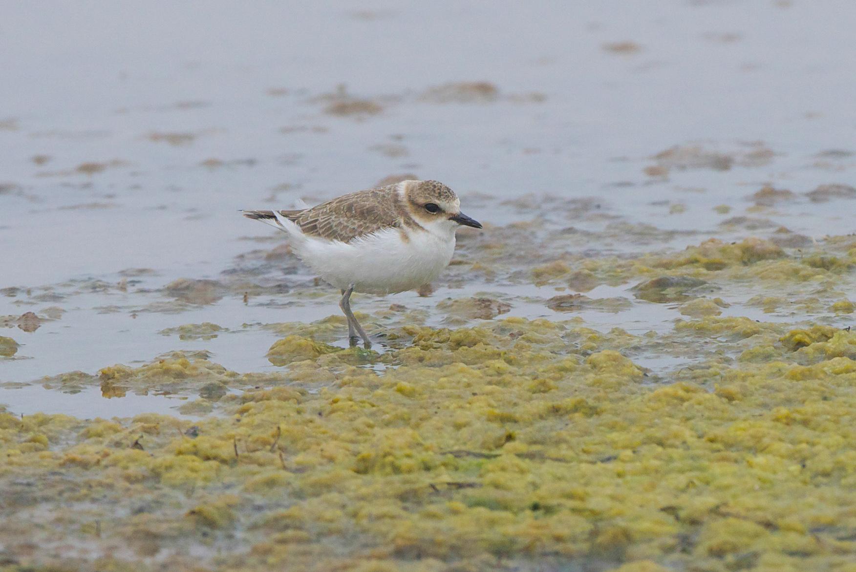 Kentish Plover-Kilnsea Wetlands-September