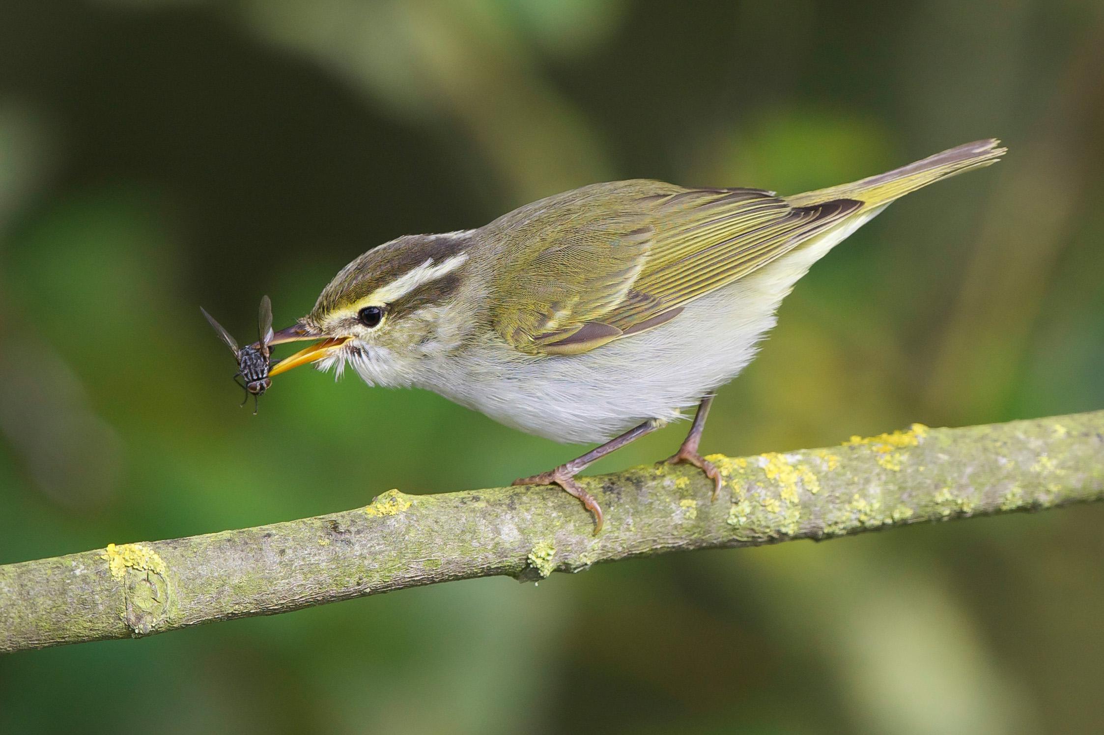 Eastern-Crowned Warbler-Bempton-October