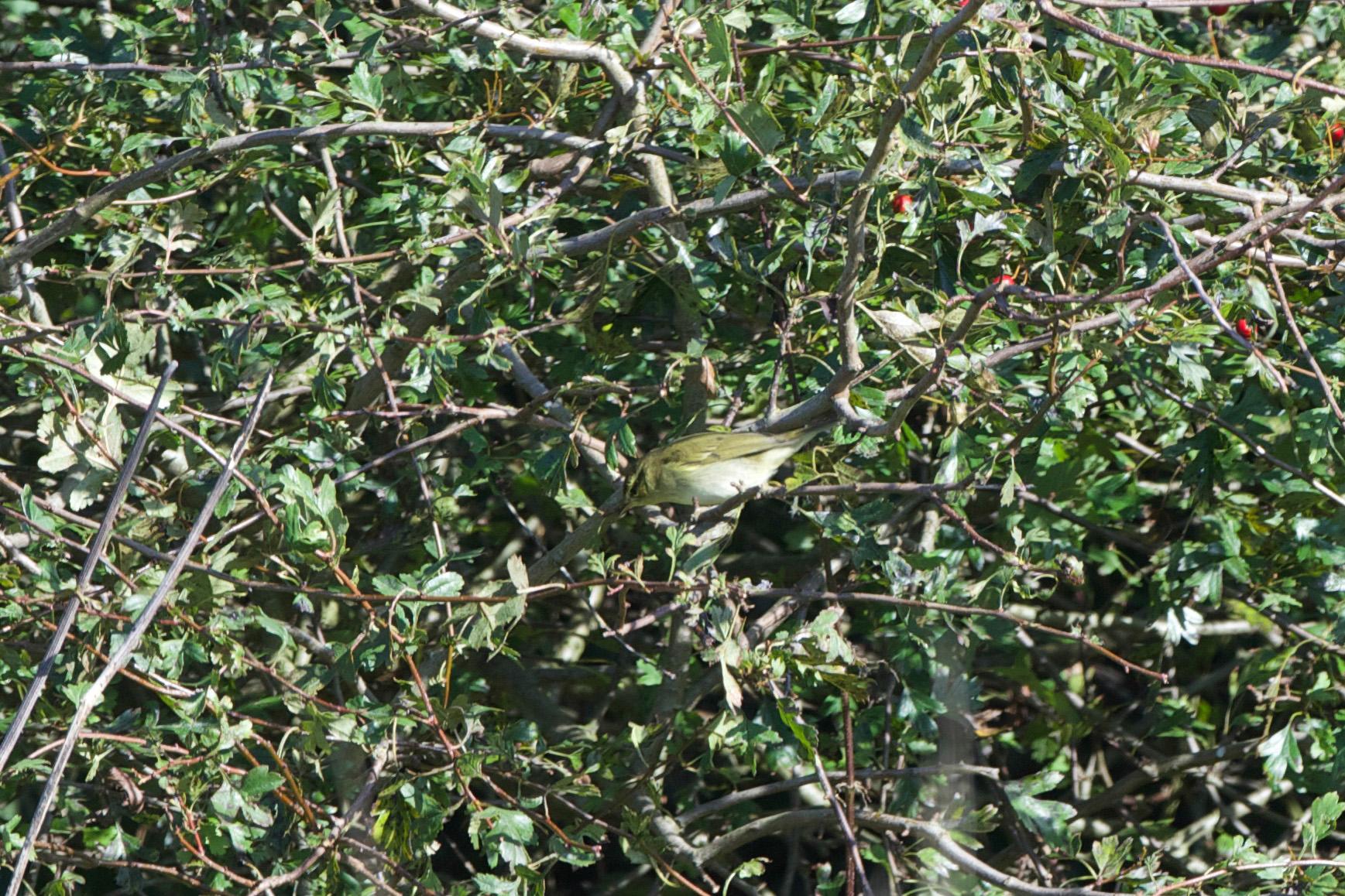 Arctic Warbler-Bempton-October